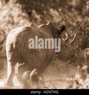 White rhinoceros (Ceratotherium simum) running away, kicking up dust, Manyeleti Game Reserve, South Africa - Stock Photo