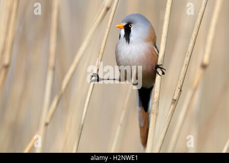 Male bearded reedling (Panurus biarmicus) between reeds, Naturpark Flusslandschaft Peenetal, Mecklenburg-Western - Stock Photo