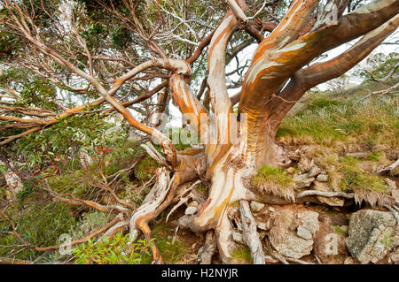 Colourful Snow Gum in the Australian Alps. - Stock Photo