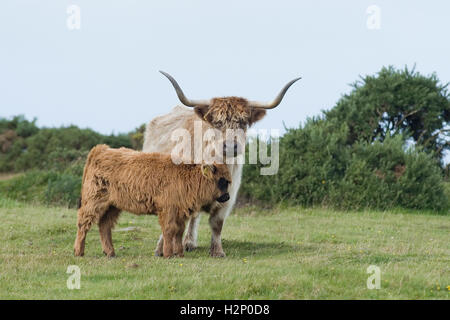 highland cow and calf - Stock Photo