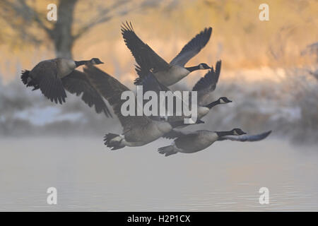 Canada Geese ( Branta canadensis ), flock in flight, leaving their sleeping waters, early winter morning, at daybreak. - Stock Photo