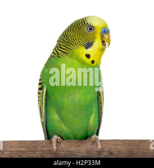 Perched Melopsittacus undulatus, also known as Budgie with beak open, isolated on white - Stock Photo