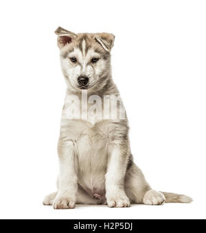 Siberian Husky Puppy sitting, 2 months old, isolated on white - Stock Photo