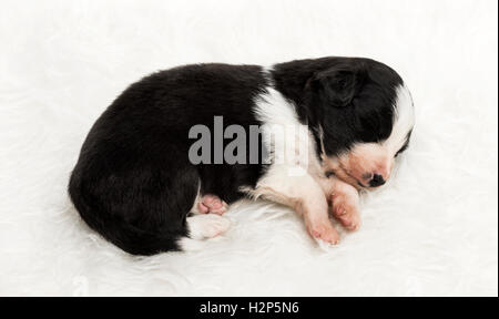 21 day old crossbreed between an australian shepherd and a border collie, sleeping peacefully on white fur - Stock Photo