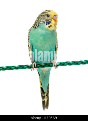 Budgerigar parakeet perched on a finger isolated on white - Stock Photo