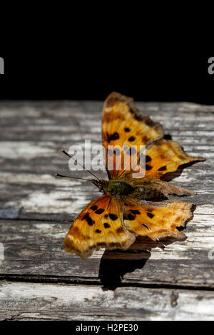 Satyr Comma (Polygonia satyrus) in the Muir Woods National Monument near San Francisco, California, USA. - Stock Photo