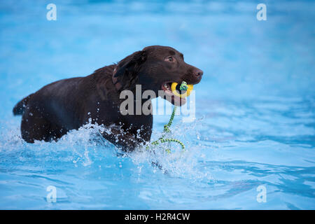 Dog, brown Labrador retriever, fetching yellow ball in swimming pool, blue water - Stock Photo