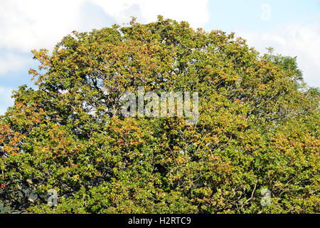 Aberystwyth, Wales, UK. 02nd Oct, 2016. UK Weather - As October advances, the leaves in the crown of this oak tree - Stock Photo