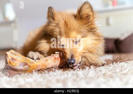 Shetland Sheepdog chews a pig bone - Stock Photo