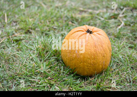 Big orange pumpkin on green grass in Moldova - Stock Photo