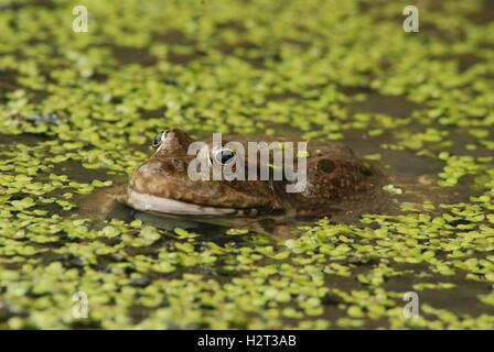 Common frog (Rana temporaria) among duckweed in pond at the British Wildlife Centre in Surrey, England - Stock Photo
