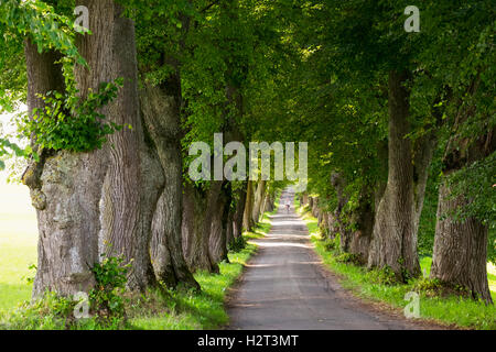 Kurfürstenallee, lime tree avenue, Marktoberdorf, Allgäu, Swabia, Bavaria, Germany - Stock Photo