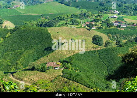Landscape of coffee plants in the coffee growing region near Manizales, Colombia - Stock Photo
