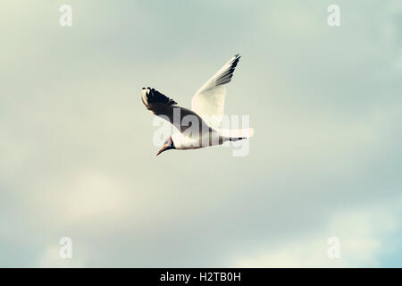Gull bird flying in the sky beautiful photo - Stock Photo