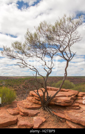 Tree growing out of the rugged sandstone cliffs at Kalbarri National Park with a cloudy sky in Kalbarri, Western - Stock Photo