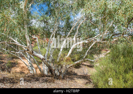 White barked eucalyptus tree in the valley of the Kalbarri National Park with lush foliage in Western Australia. - Stock Photo