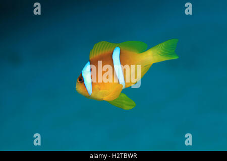 Red sea anemonefish (Amphiprion bicinctus) underwater in the tropical Red sea - Stock Photo