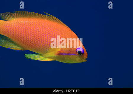 Jewel fairy basslet anthias fish (Pseudanthias squamipinnis) in the tropical coral reef of the red sea - Stock Photo