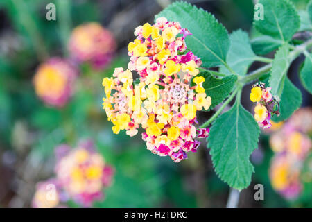 Lantana growing wild in Portugal - Stock Photo