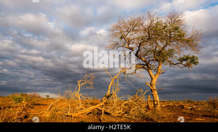 Golden sunrise in the african bush. Glowing Acacia tree hit by sunlight against dramatic sky. Landscape in the Kruger - Stock Photo