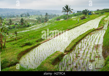 Jatiluwih rice terraces. Bali. Indonesia, Asia. - Stock Photo