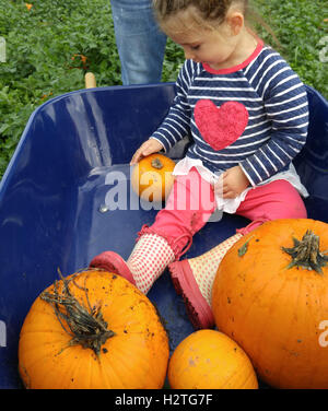 Little girl in wheelbarrow of pumpkins. - Stock Photo