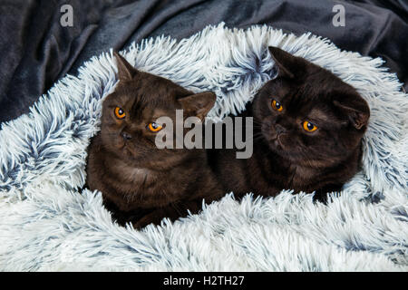 Two brown kitten lying together on fir blanket - Stock Photo