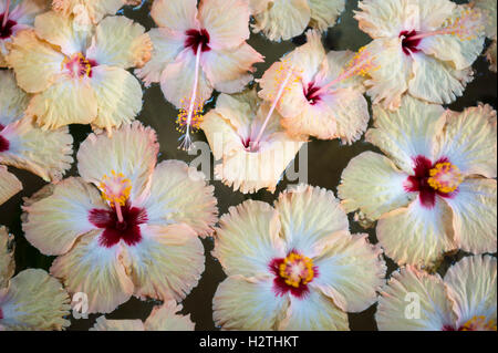 Colorful collection of fresh hibiscus blossoms floats in a stone bowl filled with water in a tropical resort - Stock Photo