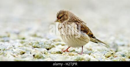 A sharply rendered juvenile female Linnet, very close up and detailed, isolated against a light background of stone - Stock Photo