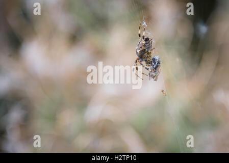 European garden spider (Araneus diadematus) Cross spider with his prey fly at London Wetland Centre in Barnes. - Stock Photo