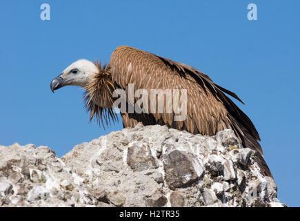 Griffon vulture over rock on blue sky background - Stock Photo