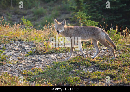 Young skinny coyote in alpine meadow in Glacier National Park - Stock Photo