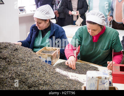 Sorting Tea Leaves at Cha Gorreana. Two women sort through a pile of fermented tea leaves to remove the stems. - Stock Photo