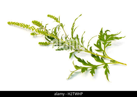 Common Ragweed (Ambrosia artemisiifolia) on a white background - Stock Photo