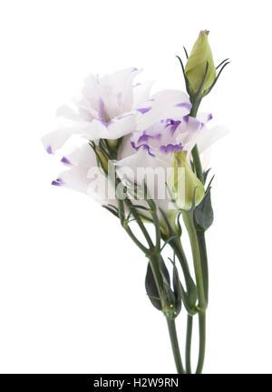 white and blue Lisianthus flower isolated on white background - Stock Photo