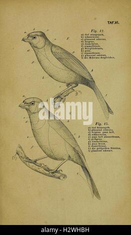 Die Kanarienvögel, Sprosser, Nachtigallen, Rothgimpel, Schwarzamseln, Bluthänflinge, Steindrosseln und Kalanderammerlerchen, - Stock Photo