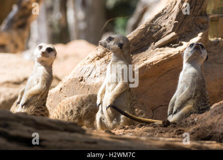 Three meerkats standing in typical pose - Stock Photo