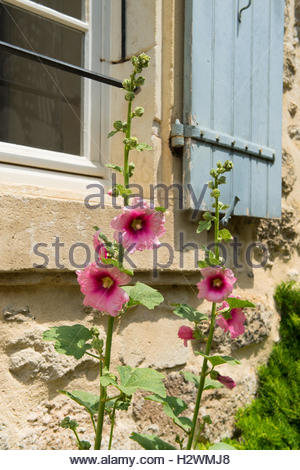Pink Hollyhock in France - Stock Photo