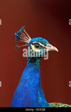 Indian Peacock, Pavo cristatus, Cape May County Zoo, New Jersey, NJ, USA - Stock Photo