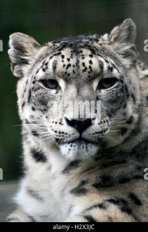 A Snow Leopard, Panthera uncia, Cape May County Zoo, New Jersey, USA - Stock Photo