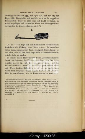 Salamandrina perspicillata und Geotriton fuscus BHL417 - Stock Photo