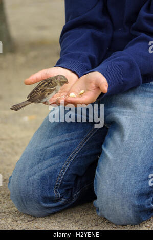 a sparrow bird eating bread from outstretched hand - Stock Photo
