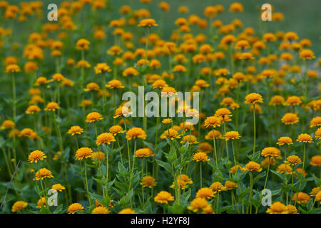 Heliopsis helianthoides  Asahii flowers smooth rough oxeye false sunflower - Stock Photo
