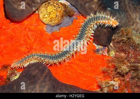 Bearded fireworm or fireworm (Hermodice carunculata), crawling over red swarm, Sithonia, Chalkidiki, also Halkidiki, - Stock Photo