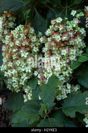 The petals of an oak leaf hydrangea begin to turn pink as autumn begins. Hydrangea quercifolia hovaria - Stock Photo