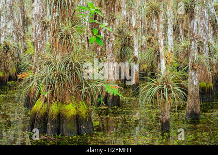 Bald cypress trees covered with bromeliads and ferns within a cypress dome - Everglades National Park Florida USA - Stock Photo
