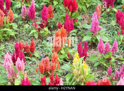 bright cockscomb flowers - Stock Photo