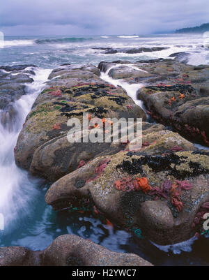 Rocky coastline and tide pools with Ochre Starfish (Pisaster ochraceus), Olympic National Park, Pacific ocean, WA - Stock Photo