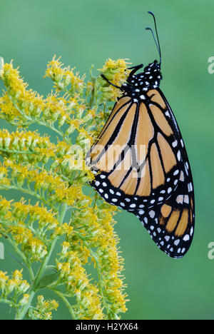 Monarch Butterfly (Danaus plexippus) on Goldenrod (Solidago sps), late Summer, early Fall, E USA, by Skip Moody/Dembinsky - Stock Photo