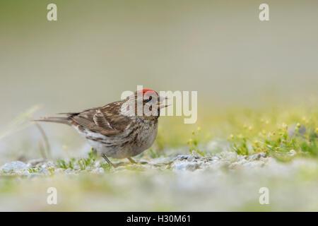 A Lesser Redpoll (Carduelis cabaret) finds food on the ground, Ardnamurchan Peninsula, Scotland, UK - Stock Photo